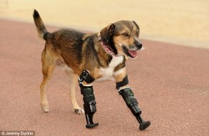 Tara the beagle mix with prosthetic legs